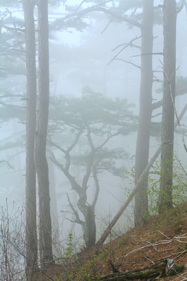 Dichte mist in het bos van de de zomerpijnboom stock fotografie