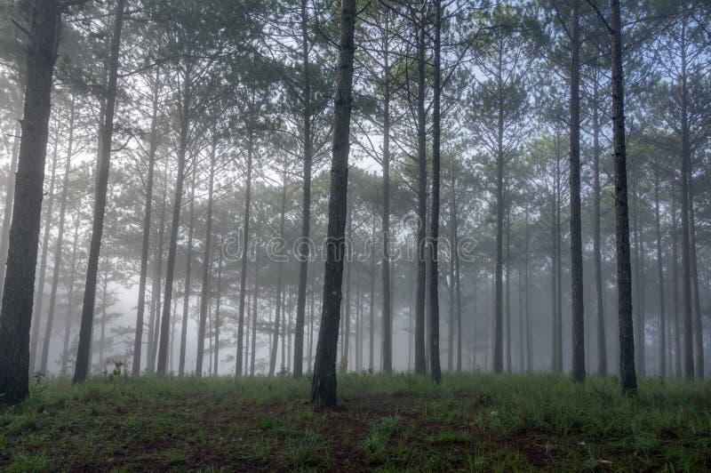 Dichte mist in het pijnboombos stock foto's
