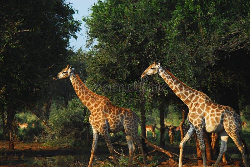 Dichte Omhooggaand van Afrika van Twee Giraffen die door Bush met A lopen stock afbeelding