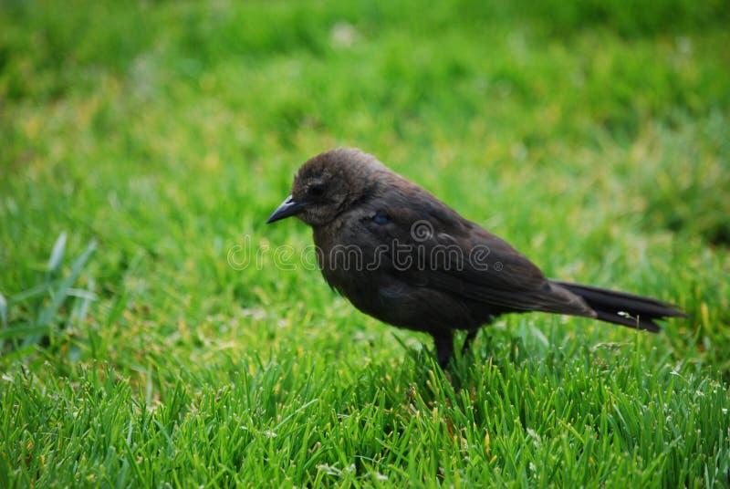 Dichte Omhooggaand van Cowbird stock afbeeldingen