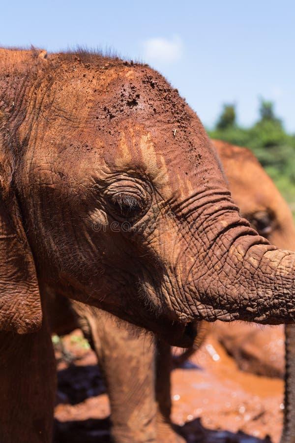 Dichte omhooggaand van de babyolifant royalty-vrije stock afbeeldingen