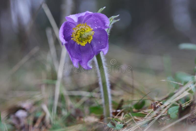 Dichte omhooggaand van de de lente purpere wilde bosbloem pasqueflower royalty-vrije stock foto