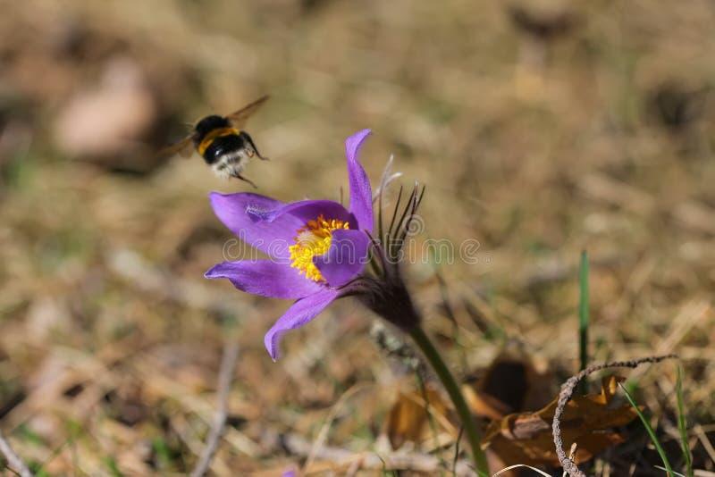 Dichte omhooggaand van de de lente purpere wilde bosbloem pasqueflower stock afbeeldingen