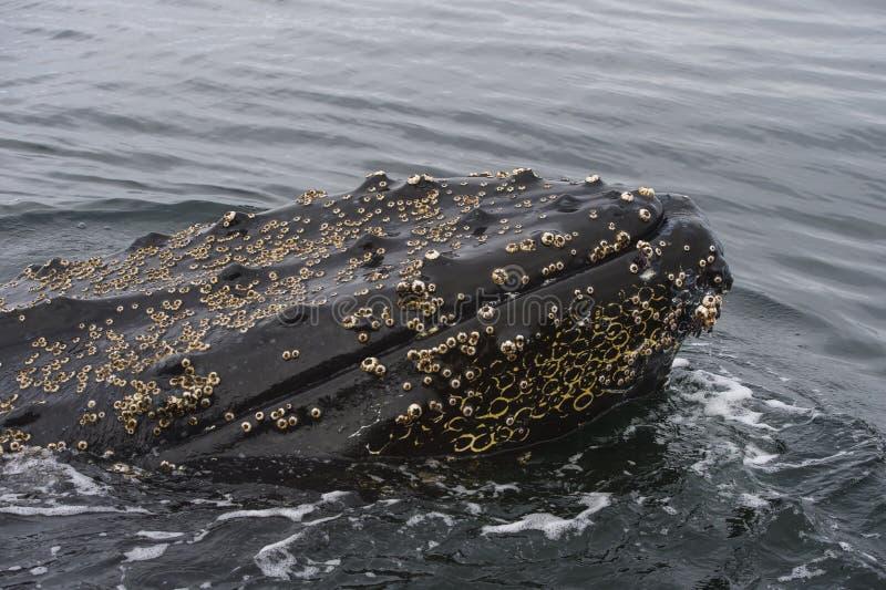 Dichte omhooggaand van de gebocheldewalvis royalty-vrije stock fotografie