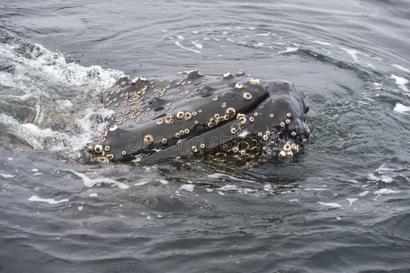Dichte omhooggaand van de gebocheldewalvis royalty-vrije stock afbeelding