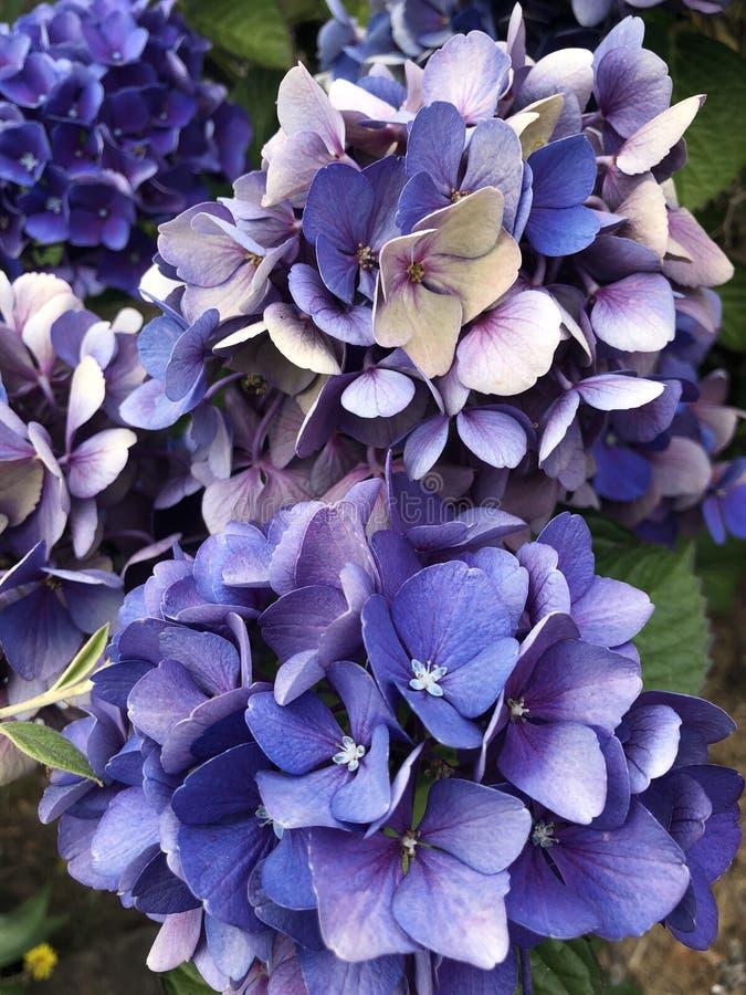 Dichte omhooggaand van de hydrangea hortensia stock fotografie