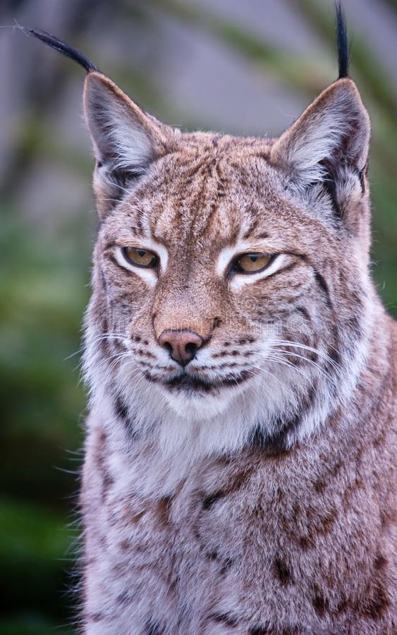 Dichte omhooggaand van de lynx bobcat