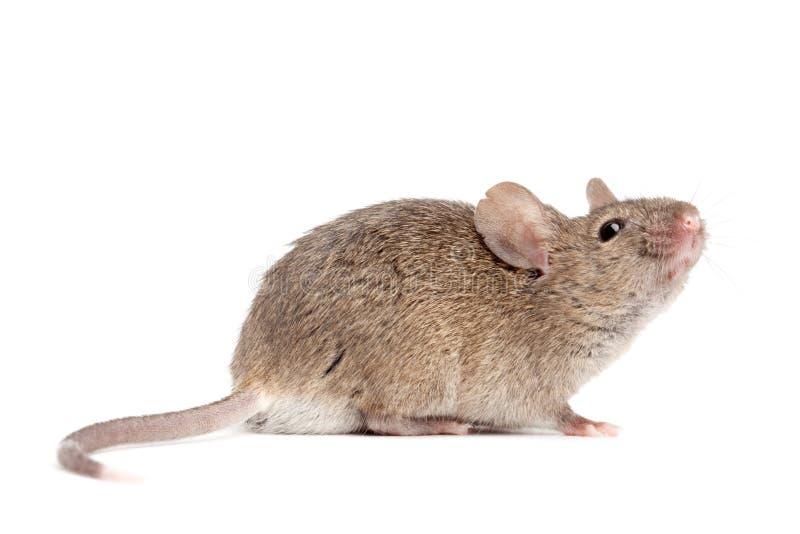 Dichte omhooggaand van de muis geïsoleerdw op wit stock foto's