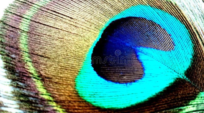 Dichte omhooggaand van de pauwveer geïsoleerd op een witte achtergrond royalty-vrije stock foto's