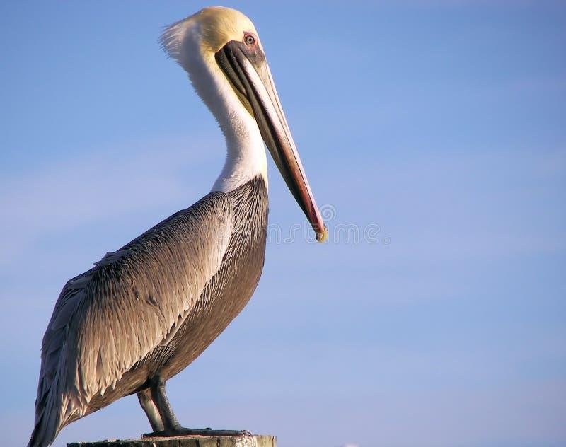 Dichte omhooggaand van de pelikaan royalty-vrije stock fotografie