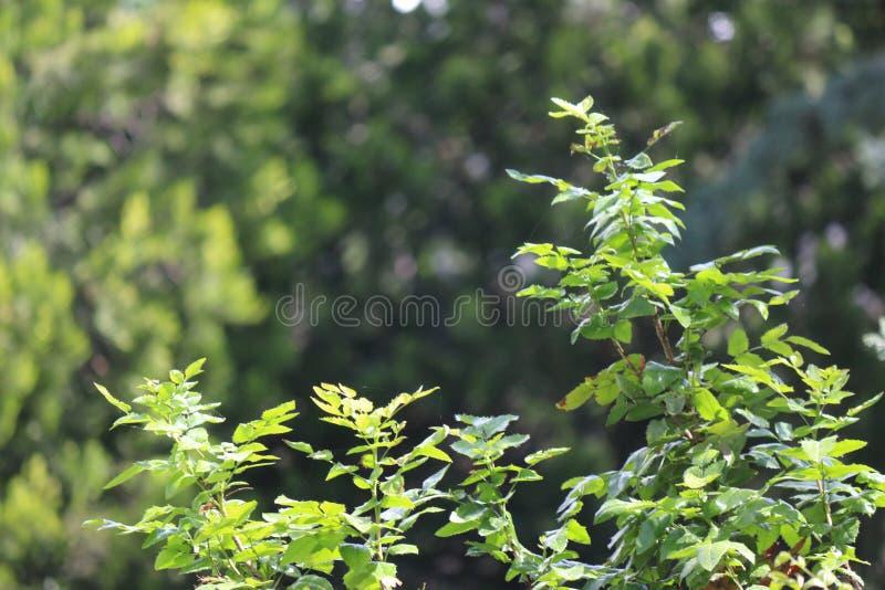 Dichte omhooggaand van de sparrenbrunch Ondiepe nadruk Pluizige dichte omhooggaand van de sparrenbrunch Behangconcept De ruimte v stock afbeelding