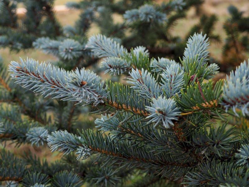 Dichte omhooggaand van de sparrenbrunch Ondiepe nadruk Pluizige dichte omhooggaand van de sparrenbrunch Het concept van het Kerst stock foto