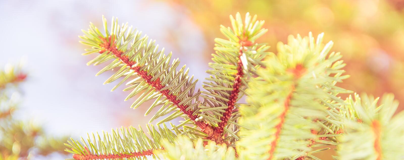 Dichte omhooggaand van de sparrenbrunch Ondiepe nadruk Pluizige dichte omhooggaand van de sparrenbrunch Het concept van het Kerst stock afbeeldingen