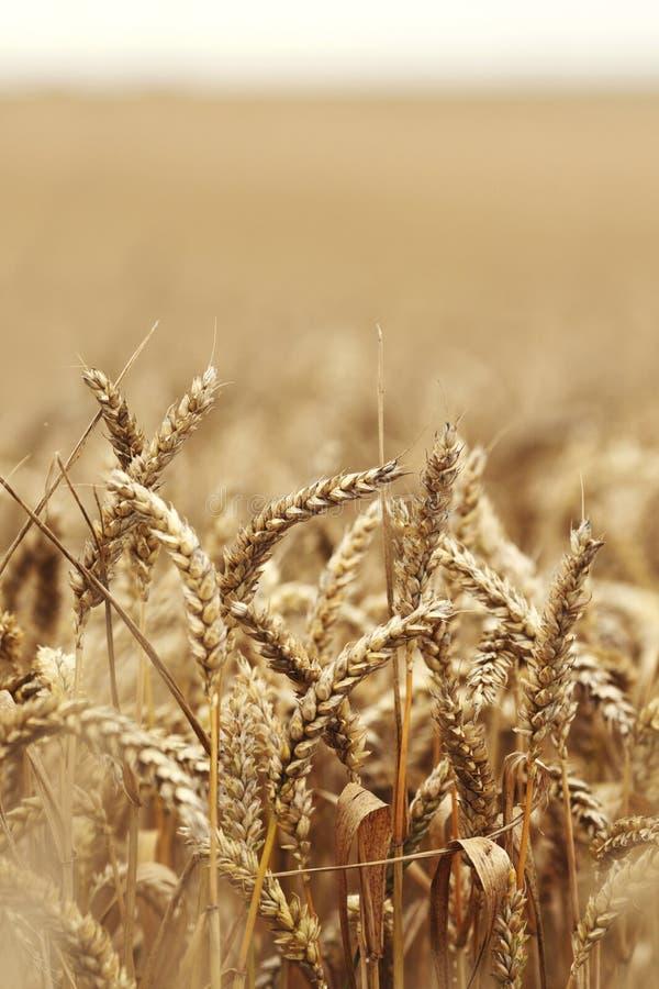 Dichte omhooggaand van de tarwe op landbouwbedrijfgebied royalty-vrije stock afbeeldingen