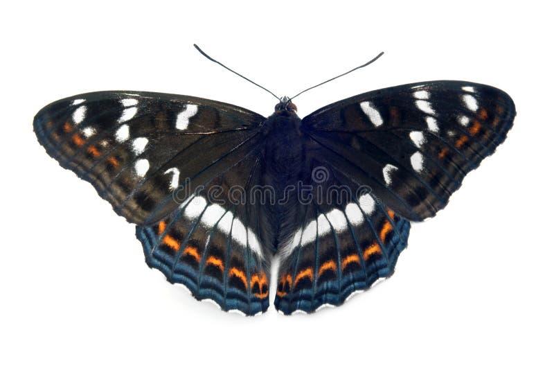 Dichte omhooggaand van de vlinder (populi Limenitis) stock foto's