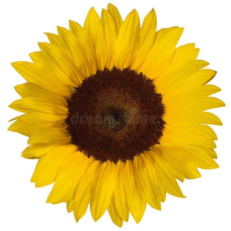 Dichte omhooggaand van de zonnebloem royalty-vrije stock afbeelding