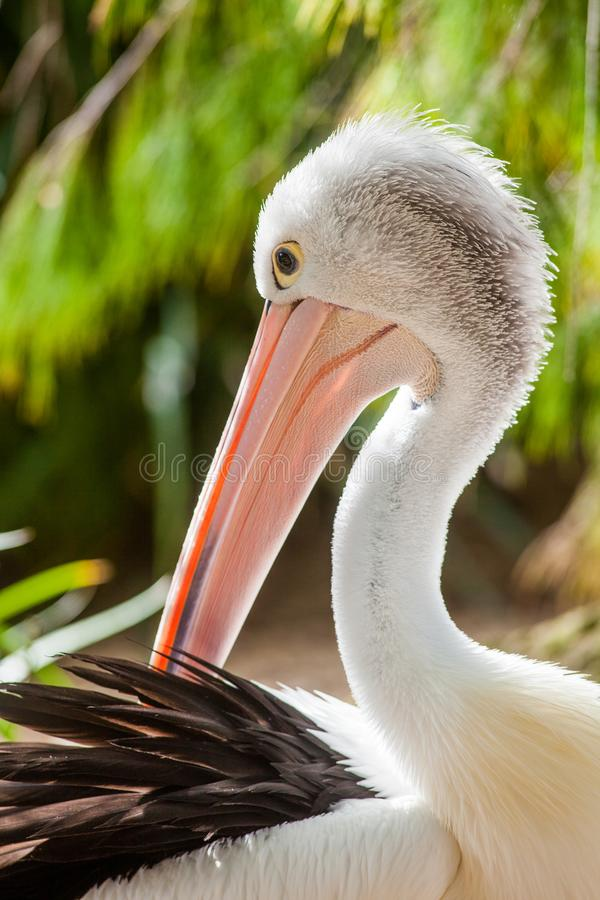 Dichte omhooggaand van een Australische pelikaan in adelaide Zuid-Australië royalty-vrije stock afbeeldingen
