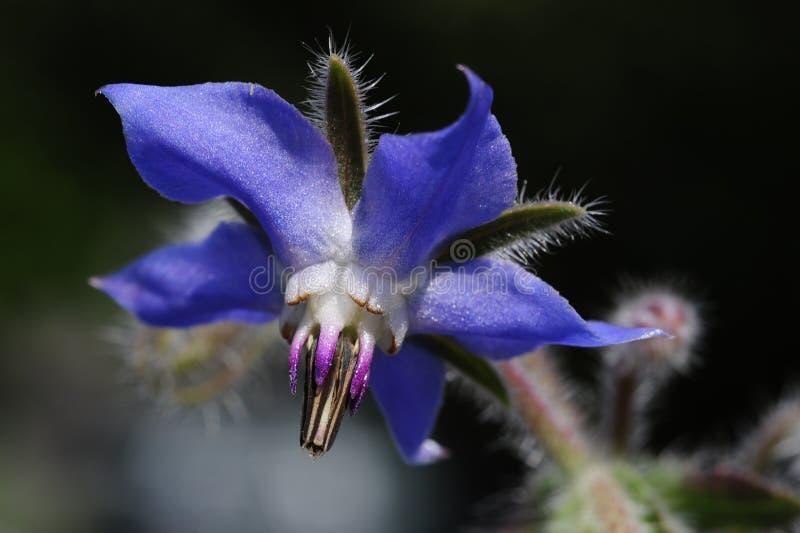 Dichte omhooggaand van een blauwe Borago-officinalis, van boragebloem stock afbeeldingen