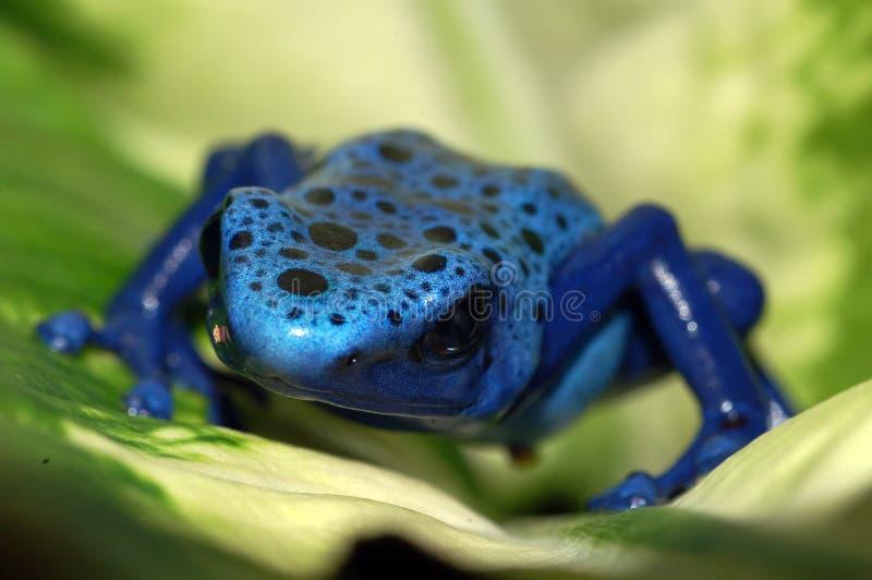 Dichte omhooggaand van een blauwe kikker van het vergiftpijltje op een blad. royalty-vrije stock afbeeldingen