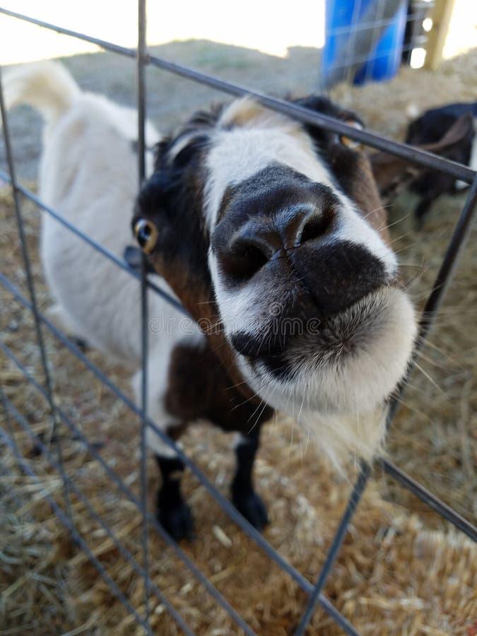 Dichte omhooggaand van een goat& x27; s gezicht en neus, in een omheining wordt geplakt die royalty-vrije stock fotografie
