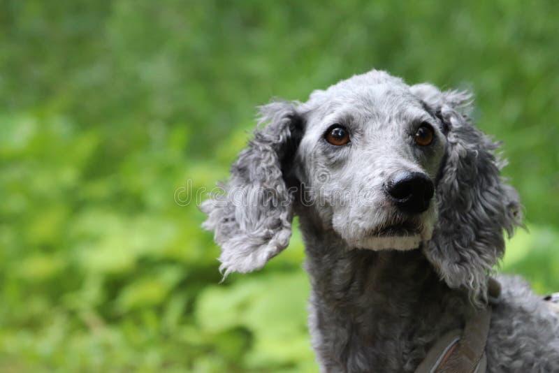Dichte omhooggaand van een grijze poedel met gevoelvolle ogen stock foto