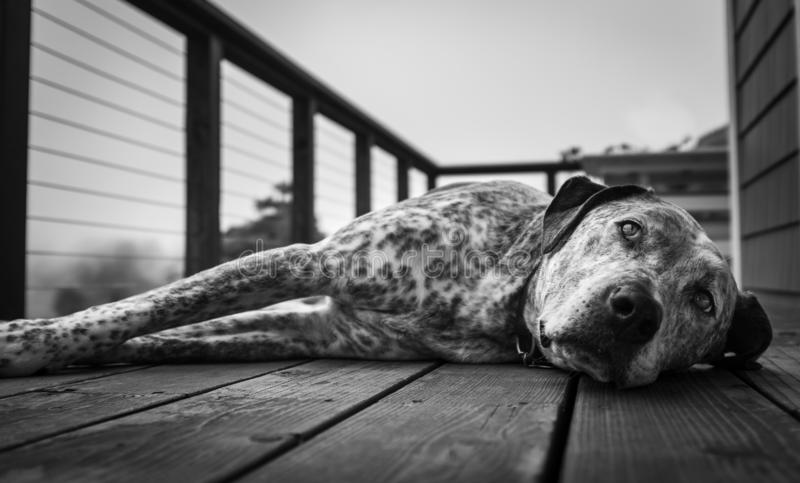 Dichte omhooggaand van een grote duttende hond op een houten dek, in zwart-wit royalty-vrije stock afbeeldingen