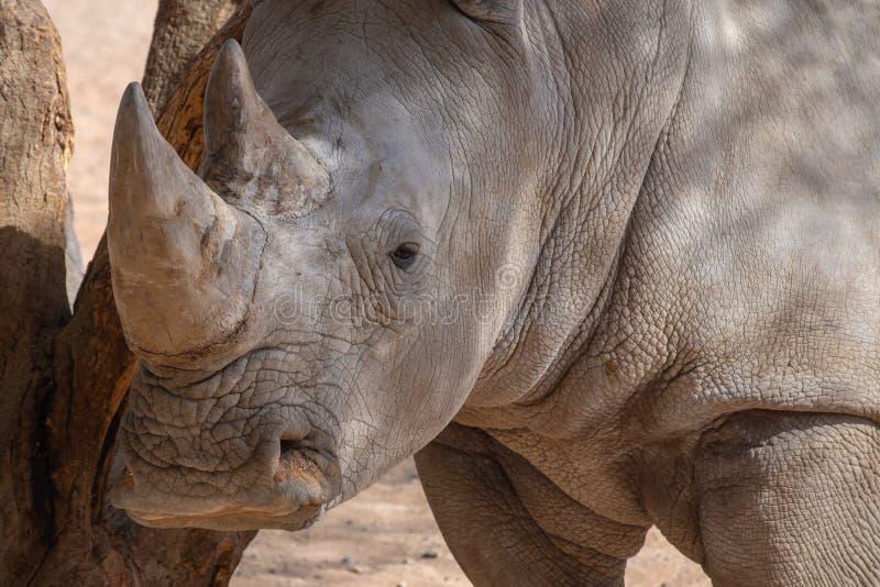Dichte omhooggaand van een hoofd en de hoornen van rinocerossen royalty-vrije stock foto's