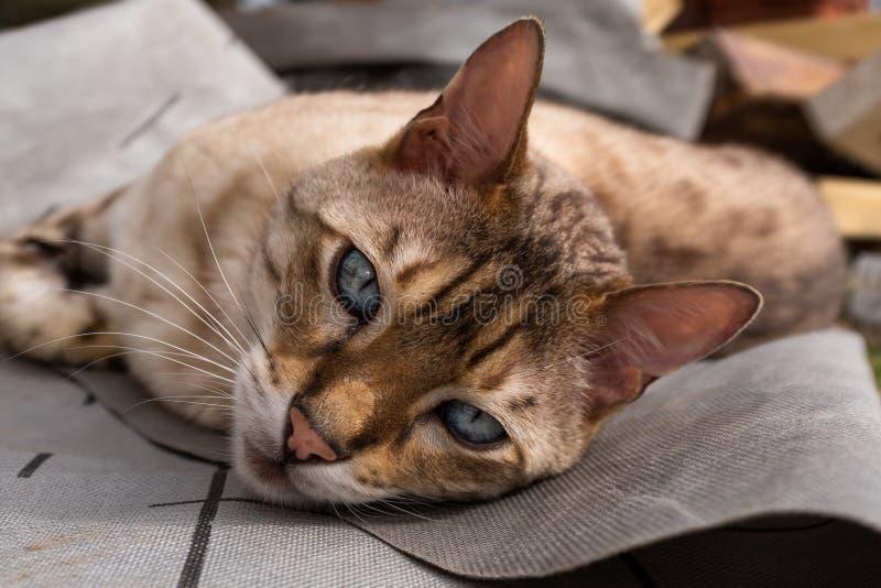 Dichte omhooggaand van een kat die van Bengalen ter plaatse bekijkend de camera met mooie ogen liggen royalty-vrije stock fotografie