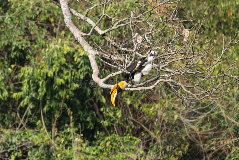 Dichte omhooggaand van een mannelijke Grote Hornbill op de boom royalty-vrije stock fotografie