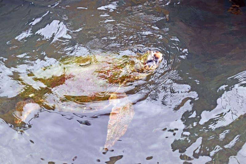 Dichte omhooggaand van een schildpad die in de oceaan zwemmen royalty-vrije stock afbeeldingen