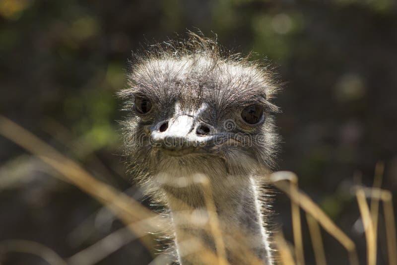 Dichte omhooggaand van een Struisvogel die de camera onderzoeken stock afbeelding
