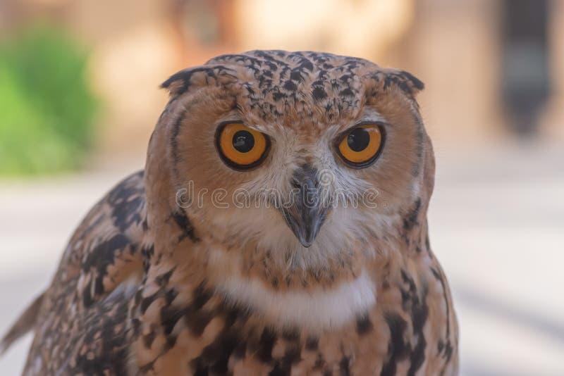 Dichte omhooggaand van faraoeagle owl stock foto