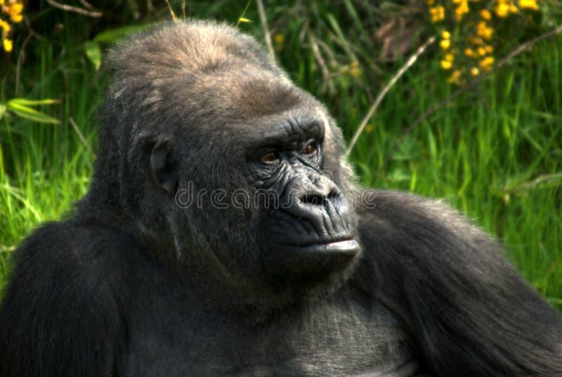 Dichte omhooggaand van Gorillla royalty-vrije stock fotografie