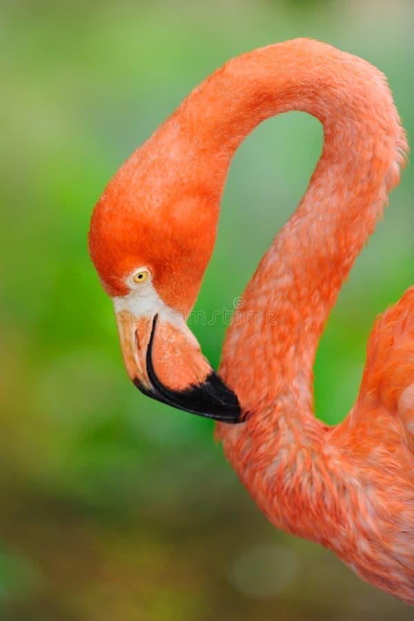 Dichte omhooggaand van het flamingoportret royalty-vrije stock foto