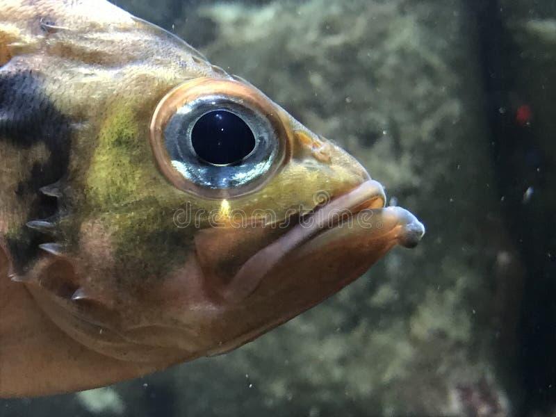 Dichte Omhooggaand van het Oog van vissen stock foto