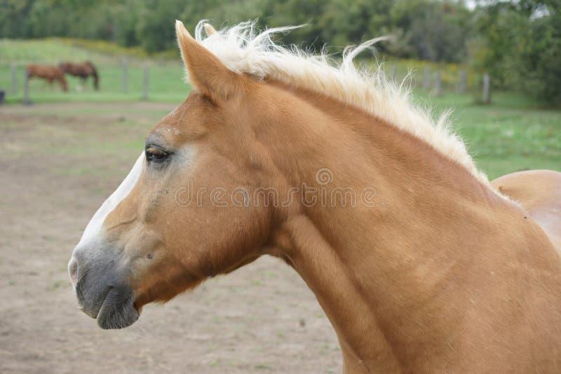Dichte omhooggaand van het paard stock afbeelding