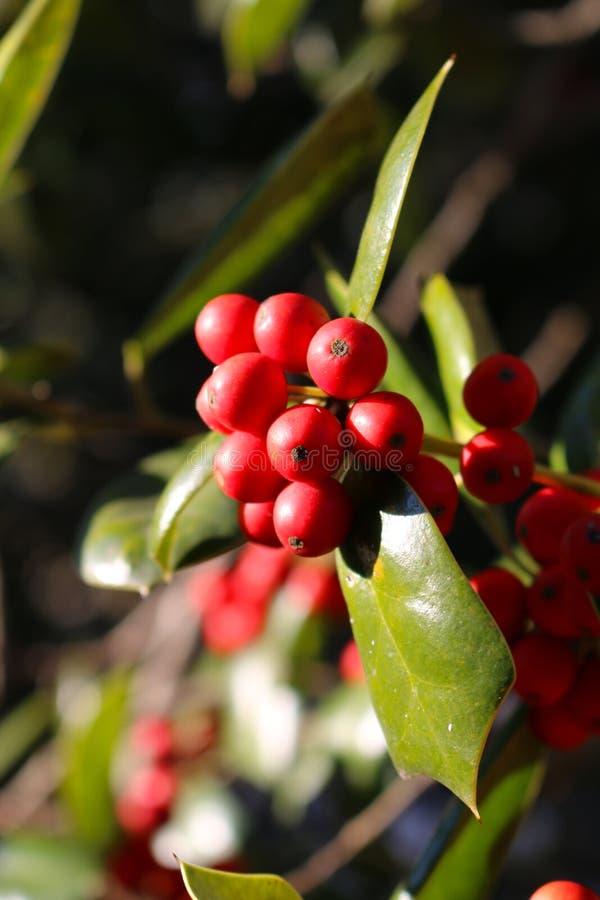 Dichte Omhooggaand van Rijpe Holly Berries royalty-vrije stock fotografie