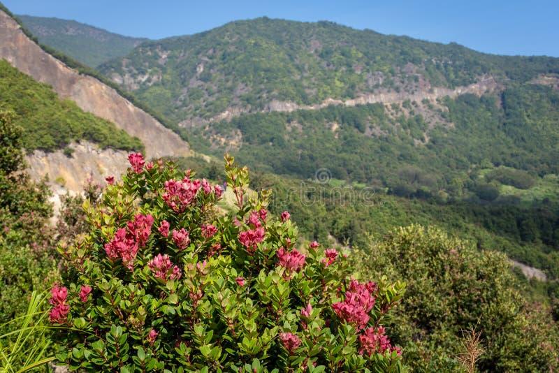 Dichte omhooggaand van rode bloem op berg Mooi landschap van onderstel Papandayan De Papandayanberg is één van de favoriete plaat stock afbeelding