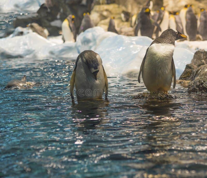 Dichte omhooggaande pinguïn twee die zich in het blauwe zeewater, groep bevinden pi stock foto