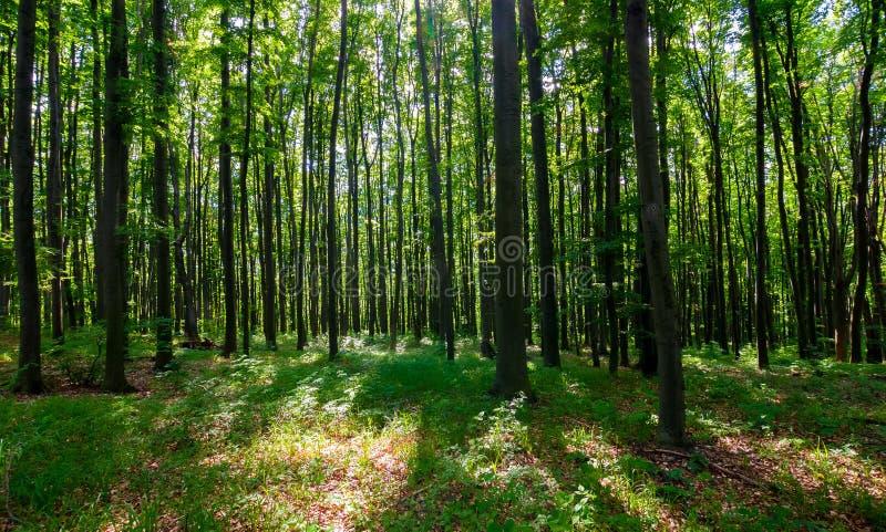 Dichter Buchenwald mit hohen Bäumen lizenzfreie stockbilder