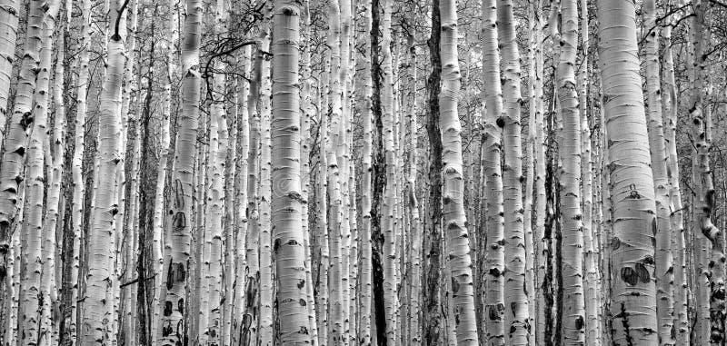 Dichter Wald von Bäumen schaffen strukturierten Schwarzweiss-Hintergrund lizenzfreie stockfotografie
