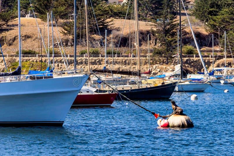 Dichtung auf einer Boje nahe Yachten in Monterey, Kalifornien lizenzfreie stockfotografie