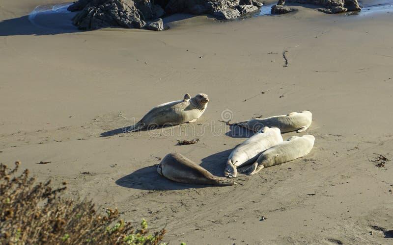 Dichtungen auf Dichtungs-Strand in Kalifornien lizenzfreies stockfoto