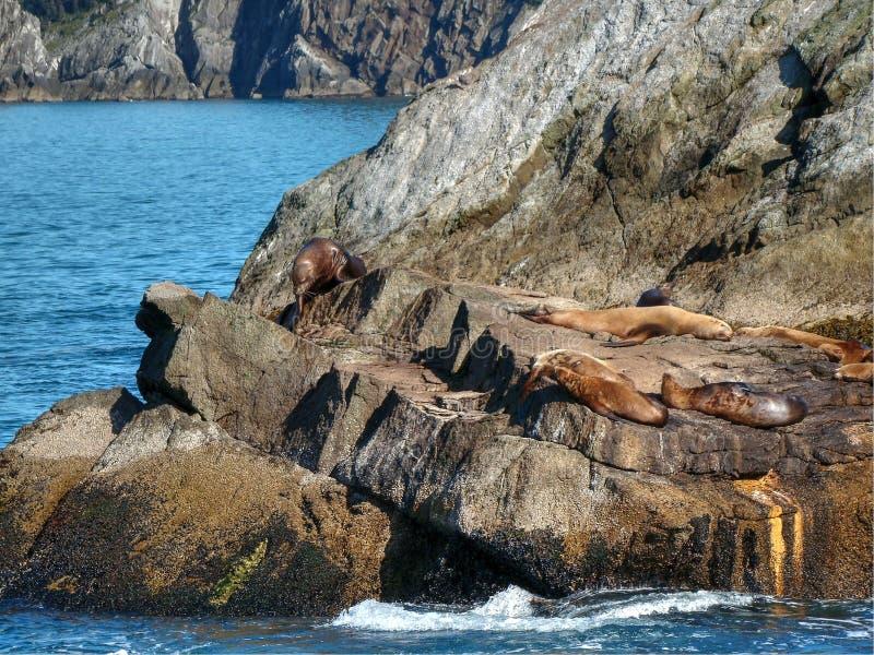Dichtungen, die auf den Felsen sich entspannen stockfotos