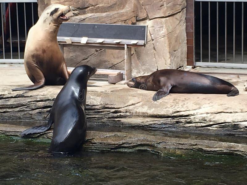 Dichtungen in einem Aquarium stockfotos