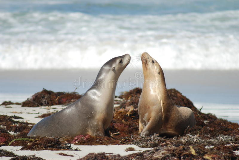 Dichtungen in Känguru-Insel, Australien stockbild