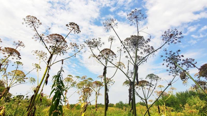 Dickichte der gefährlichen Giftpflanze riesiges Hogweed Alias Heracleum-oder Kuh-Pastinak Formbrände und -blasen auf Haut stockbilder