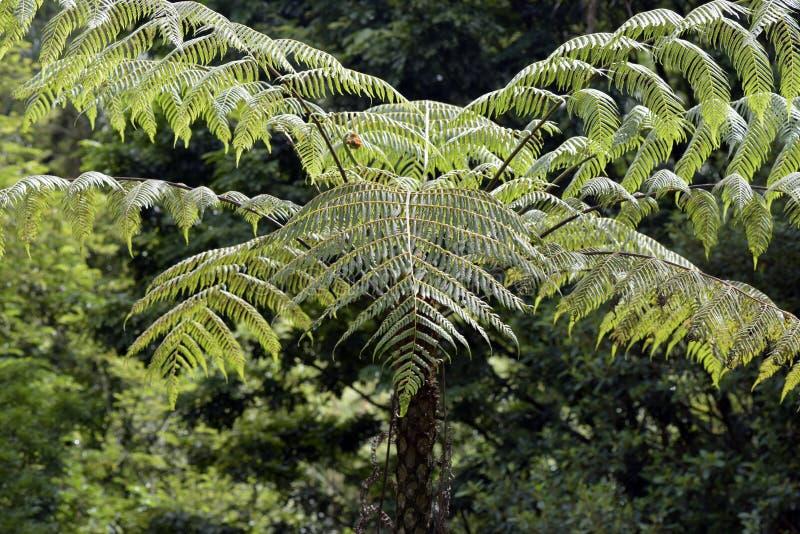 Dicksonia sellowiana, der große Farn des Amerikas stockbilder