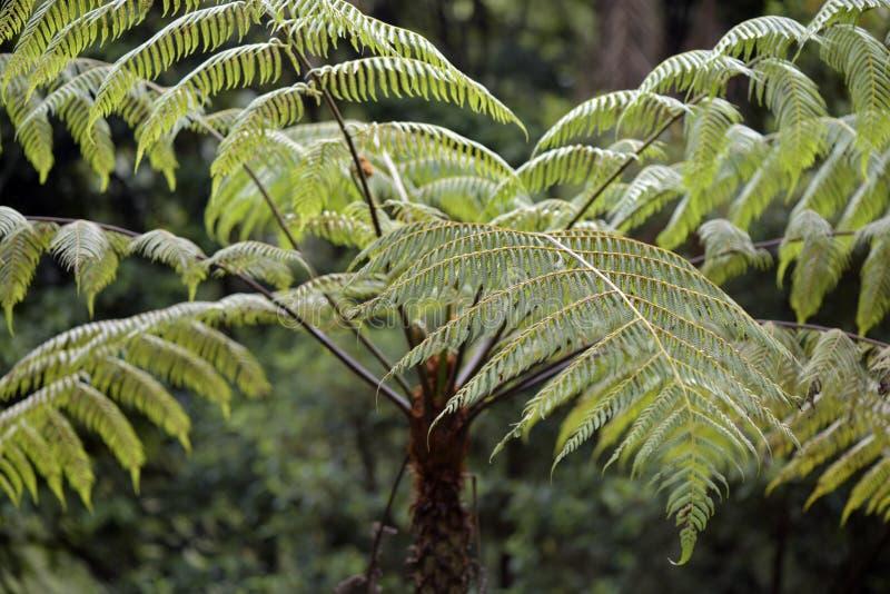 Dicksonia sellowiana, der große Farn des Amerikas lizenzfreies stockbild
