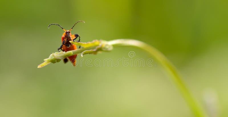 dictyoptera αυγής στοκ εικόνα με δικαίωμα ελεύθερης χρήσης